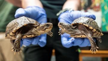 Nielegalna ferma żółwi na Majorce zamknięta. Policja przejęła ponad 1000 gadów zagrożonych gatunków