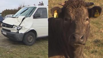 Krowy nagle wtargnęły na drogę. Po wypadku policja prosiła o... numer kolczyka