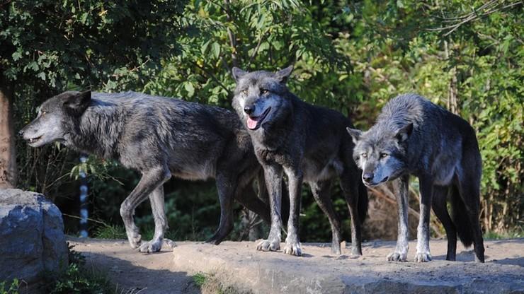 """Wataha wilków miała zagryźć daniele na ogrodzonej posesji. """"Rany na szyjach i rozprute brzuchy"""""""
