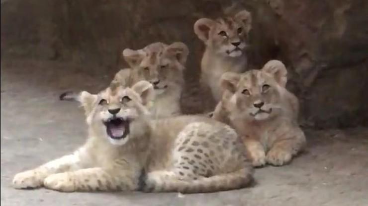 W gdańskim zoo urodziły się cztery lwiątka