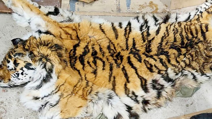 Rosja. Próba przemytu skóry i szczątków zagrożonego wyginięciem tygrysa