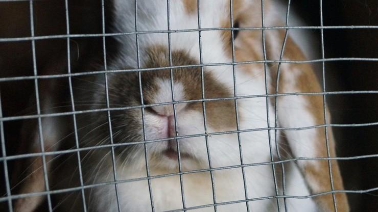 Zakaz hodowli królików w klatkach - zdecydował Parlament Europejski