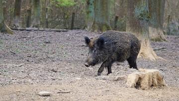 """Ministerstwo Środowiska nakazało odstrzał dzików w parkach narodowych. """"Szykuje się rzeź"""""""