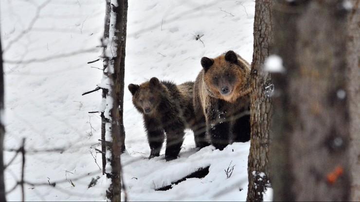 Spacerował po lesie. Zaatakowała go niedźwiedzica. Ma poważne obrażenia głowy