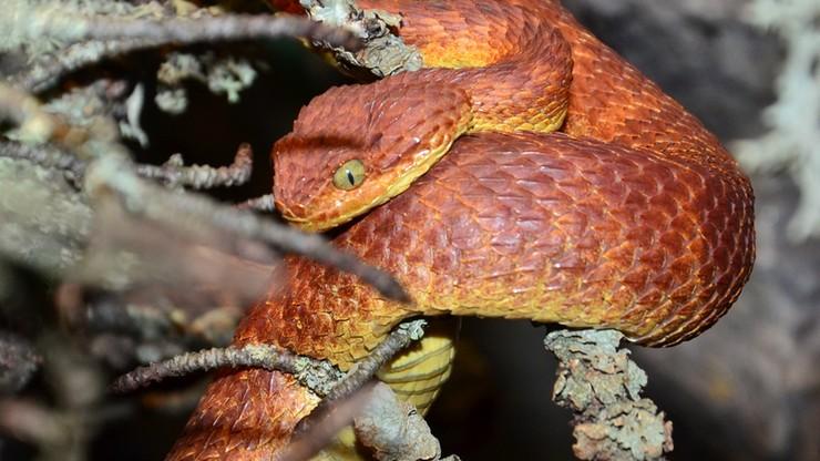 Pracownika zoo ukąsił jadowity wąż. Nie produkuje się surowicy na jego jad