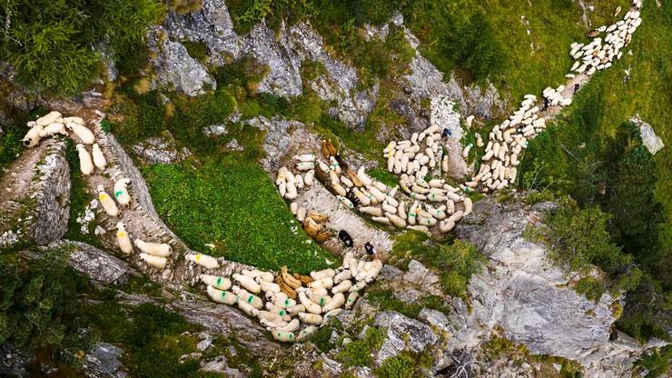 Marsz owiec przez Alpy