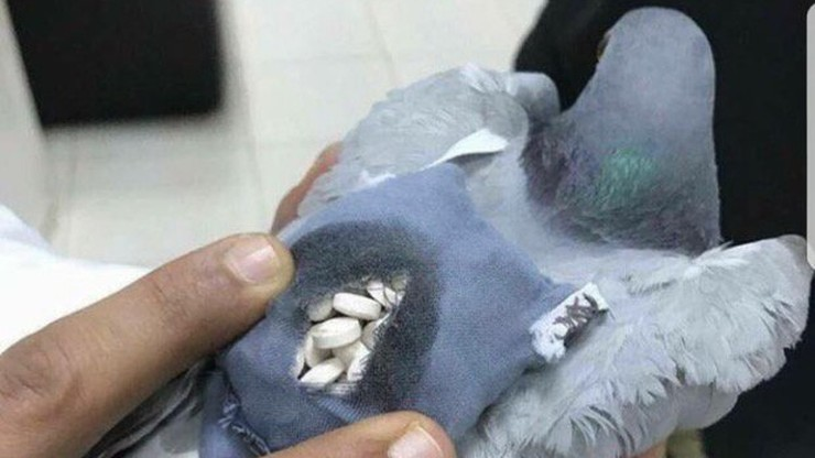 Gołąb pocztowy przyłapany na przemycie narkotyków