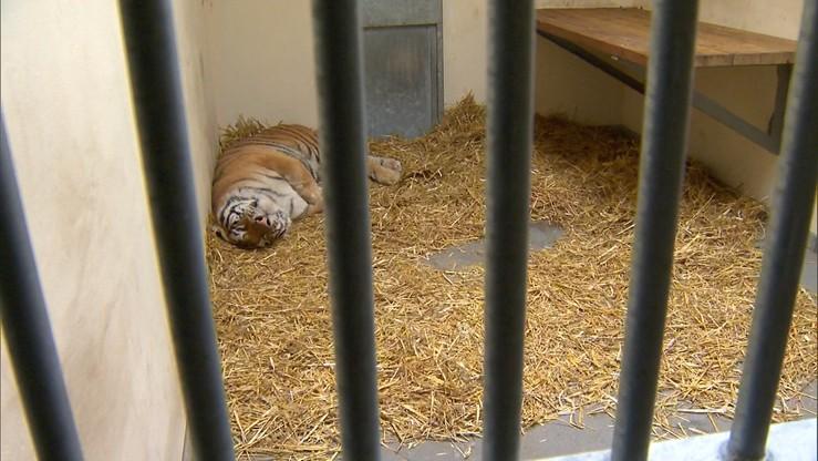 Zebrano już milion złotych na pomoc tygrysom