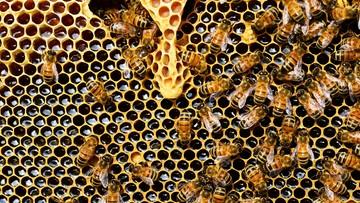 Setki pszczół zginęły, bo ktoś zalał je ropą. Policja szuka sprawcy