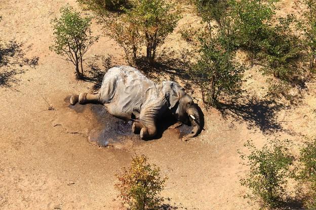 Zwłoki słonia w delcie rzeki Okawango