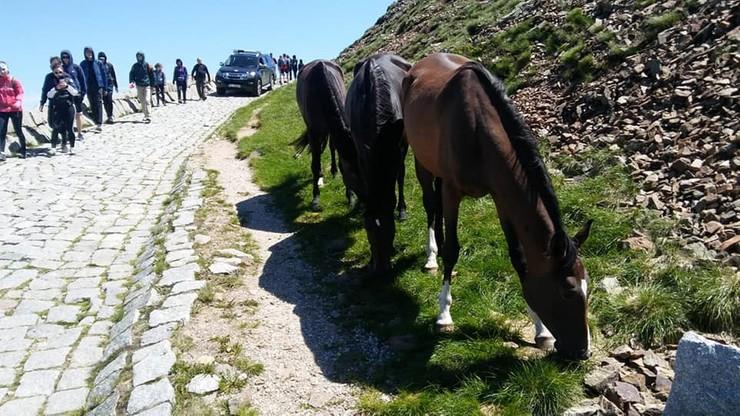 Konie uciekły z hodowli. Weszły na Śnieżkę