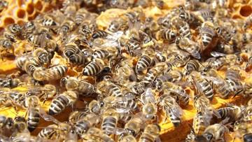 Złodziej-pszczelarz okradał ule. Zabierał pszczoły matki, żeby wzmocnić własną pasiekę