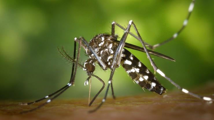"""Niemcy. W Hesji zauważono komara tygrysiego. To """"najbardziej śmiercionośne zwierzę na świecie"""""""