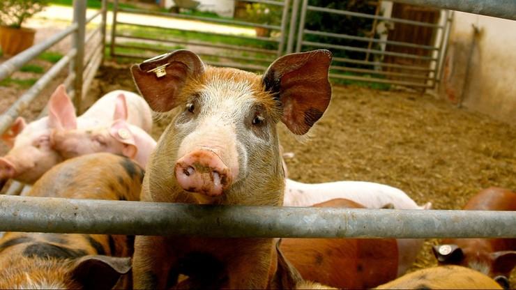Polska przywróciła import świń z Litwy