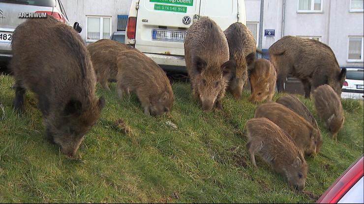 Olsztyn: dziki i wilki straszą mieszkańców. Zwierzęta grasują po okolicznych wsiach