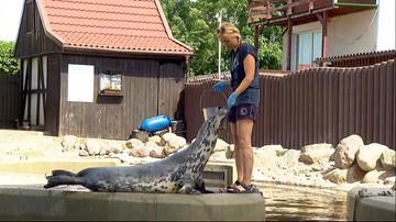Ktoś zabija foki w Zatoce Puckiej. Sprawców poszukuje policja [WIDEO]