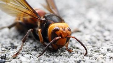 """""""Mordercze szerszenie"""" w Europie. Nie żyje pszczelarz"""