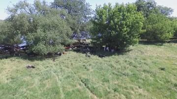 Ardanowski: krowy z Deszczna nie będą mogły trafić do konsumpcji
