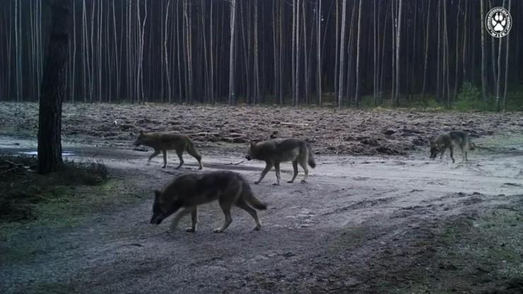 Wilki zaatakowały dwóch pilarzy. Jest zgoda na odstrzał zwierząt