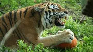 Pijani zwiedzający w zoo. Dźgali tygrysy kijem