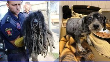 Skorupa z sierści, kołtuny - zaniedbany pies w Łodzi. Odnaleziono właściciela