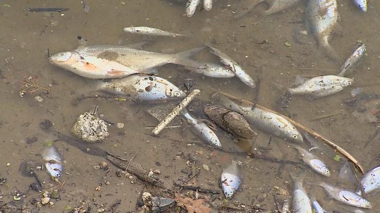 """Śnięte ryby znalezione w Wiśle. Poniżej miejsca zrzutu ścieków po awarii rurociągu do """"Czajki"""""""