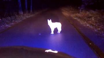 Wilk zatrzymał radiowóz i śpiewał policjantom na środku drogi. Nie dostał mandatu
