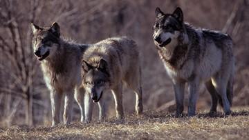 Wilki pojawiły się w Karkonoszach. Są pod dyskretną obserwacją