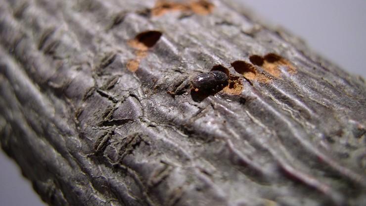 Ekspert: mało prawdopodobne, że usuwając zaatakowane drzewa, zwalczymy kornika