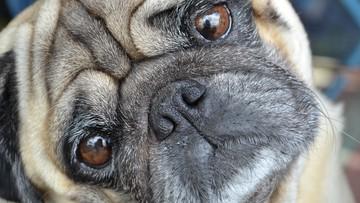 Komornik zajął rodzinie psa i sprzedał go w internecie