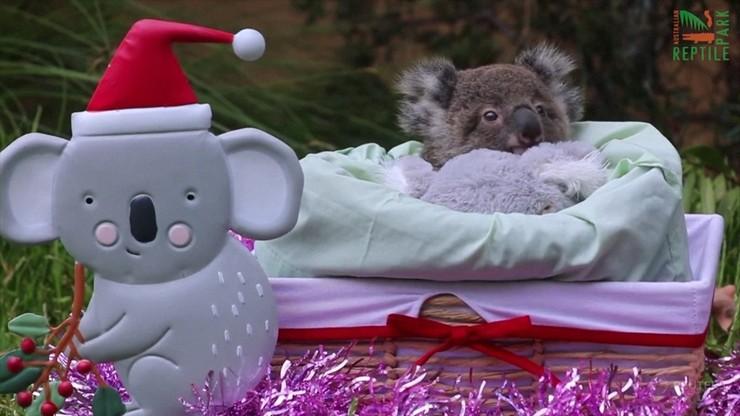 Pierwsze święta nowo narodzonych zwierząt w australijskim zoo