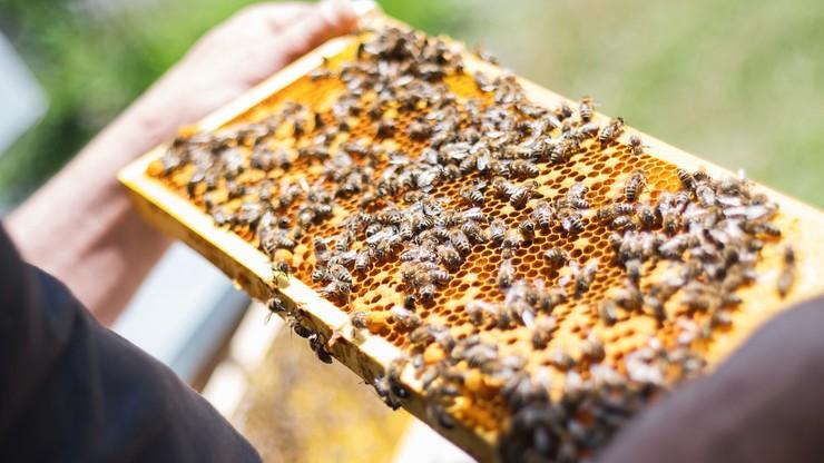 Aplikacja ma pokazać, ile pszczół jest w ulu. Pracują nad nią uczniowie z Podkarpacia