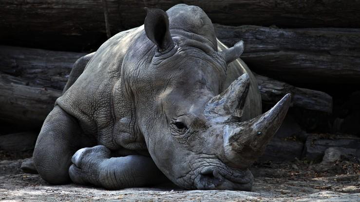 Nosorożec zastrzelony we francuskim zoo. Odcięto róg o wartości 150 tys. zł