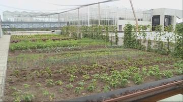 Warzywa i owoce hodowane na dachu. Nietypowa plantacja w Brukseli