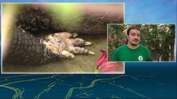 Trwają poszukiwania krokodyla w jeziorze na Dolnym Śląsku. Miał na niego wpaść windsurfer