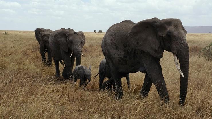 """Botswana przywraca polowania na słonie. Zapewnia, że """"będą bardzo ograniczone"""""""
