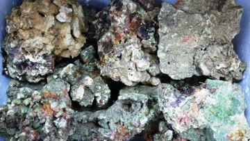 Udaremniono przemyt 170 kg fragmentów żywej rafy koralowej
