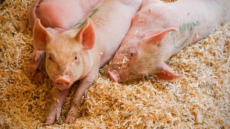 Może być rewolucja w hodowli świń. Szykują się ostre restrykcje dla rolników