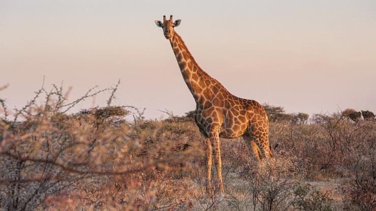 """RPA. Myśliwa pozowała do zdjęć z sercem zabitej żyrafy. """"Jestem zachwycona prezentem walentynkowym"""""""