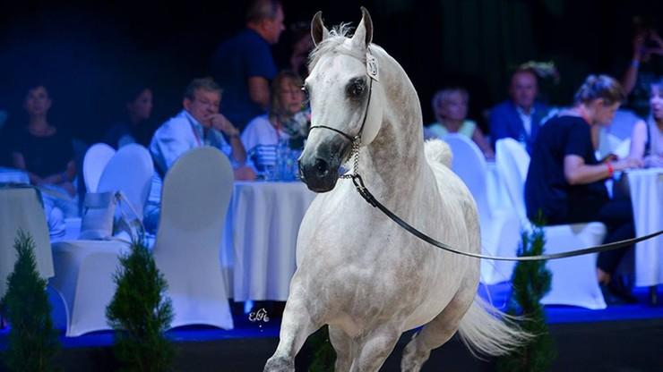 Stadniny w Michałowie i Janowie wystawią na aukcji Pride of Poland 22 konie i dwa embriony