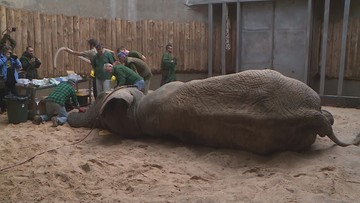 Słoń Ninio znów u dentysty. Na wizytę przylecieli profesorowie z RPA