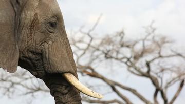 12 lat więzienia dla najsłynniejszego handlarza kością słoniową