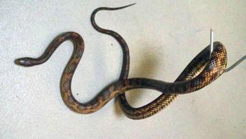 Wąż wpełzł do mieszkania przez okno na 7. piętrze