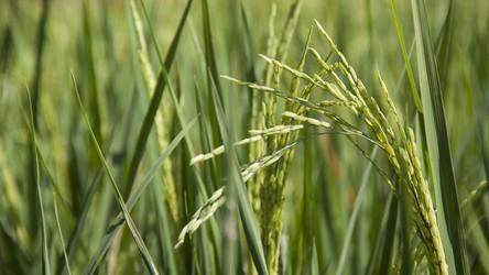 Prosta zmiana w RNA zwiększa plony ryżu i ziemniaków o nawet 50%