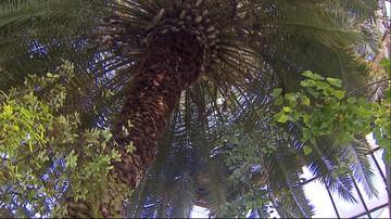 Kraków: 150-letnia palma daktylowa potrzebuje nowej szklarni