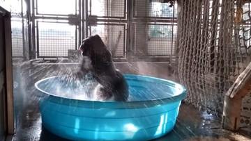 """Piruety goryla w basenie. """"On jest niesamowity"""""""