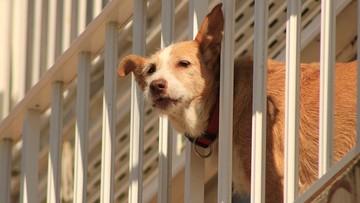 Włochy: zostawianie psów na balkonach jak maltretowanie. Dotkliwe kary dla właścicieli czworonogów