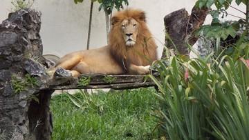 Lwy i tygrysy uciekły z zoo. W niemieckim mieście wybuchła panika
