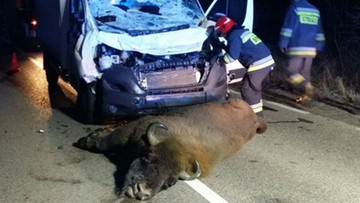 Niecodzienny wypadek na Podlasiu. Bus uderzył w żubra