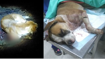 Obcięta łapa, uszkodzony kręgosłup. Psa przywiązano do torów. Zdjęcia mają pomóc znaleźć oprawcę